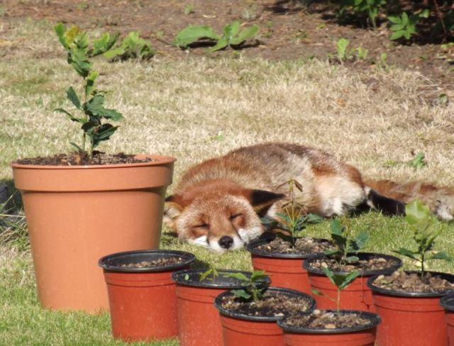 fox_saplings