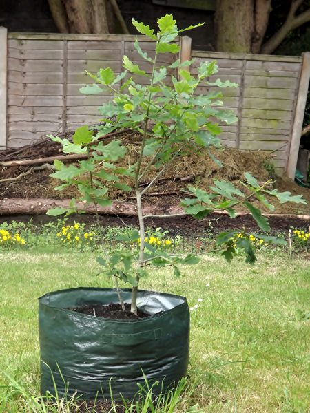an oak sapling on its way to be planted